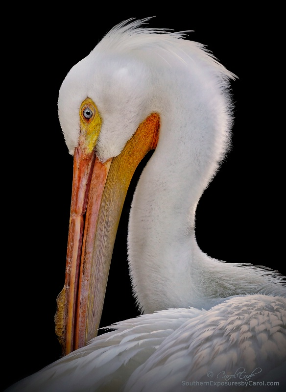 White Pelican, Flamingo Gardens Wildlife Sanctuary - ID: 14374799 © Carol Eade