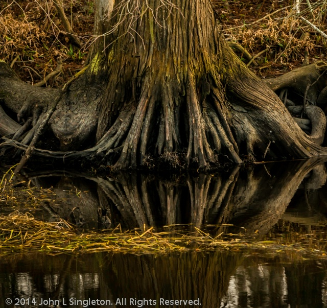 Cypress Knees/Reflection - ID: 14376140 © John Singleton