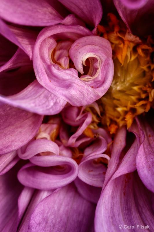 Dahlia Curls and Swirls - ID: 14376429 © Carol Flisak