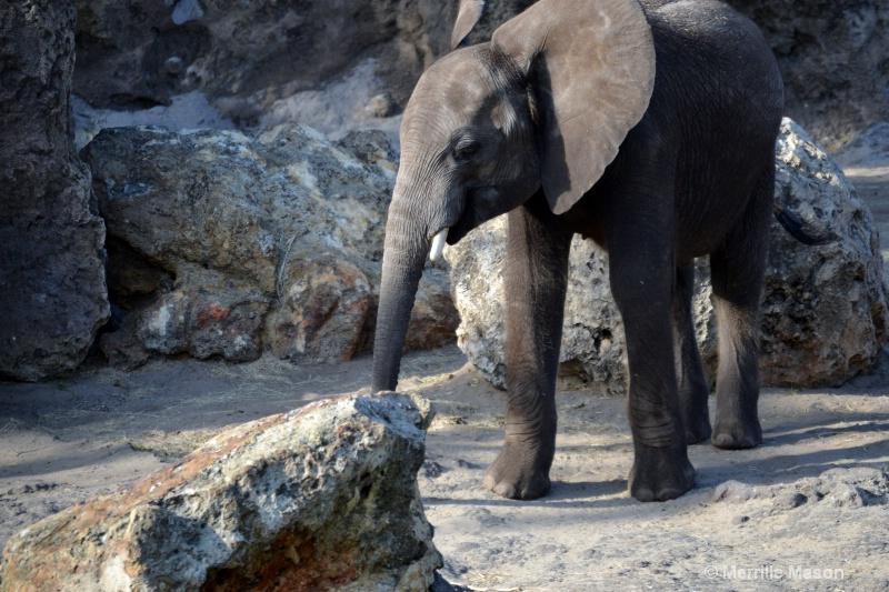 BABY ELEPHANT 2 - ID: 14379218 © Merrille Mason