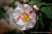 camellia peppermi...