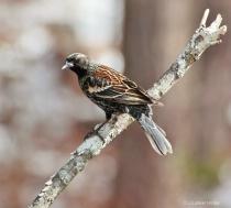 European Starling-Pose