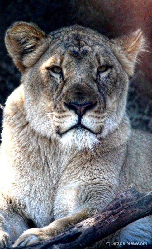 Lioness - ID: 14380993 © Grace Newsom