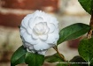 camellia & mortar