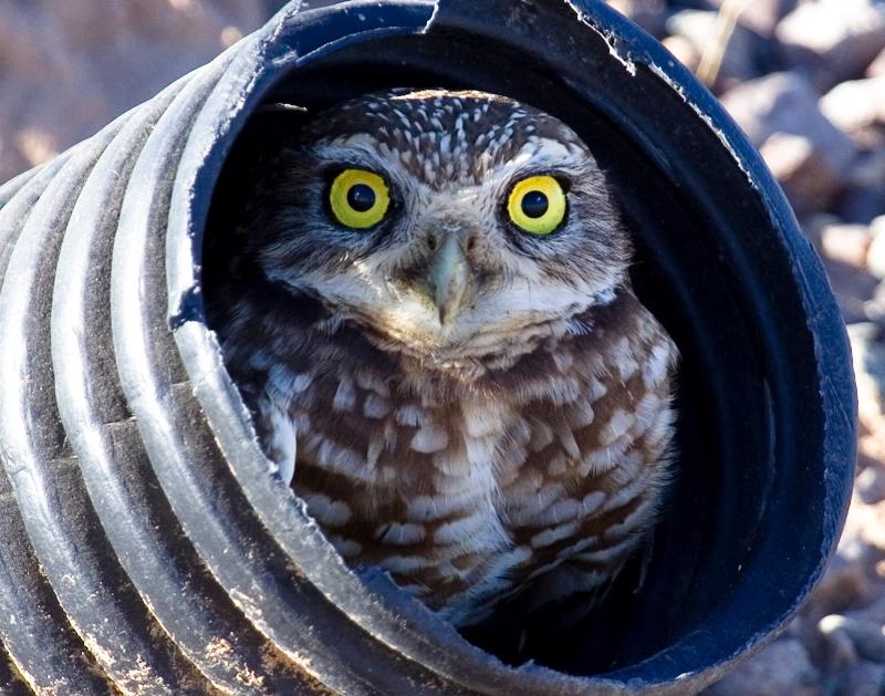 Owl in the Burrow