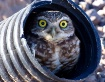Owl in the Burrow