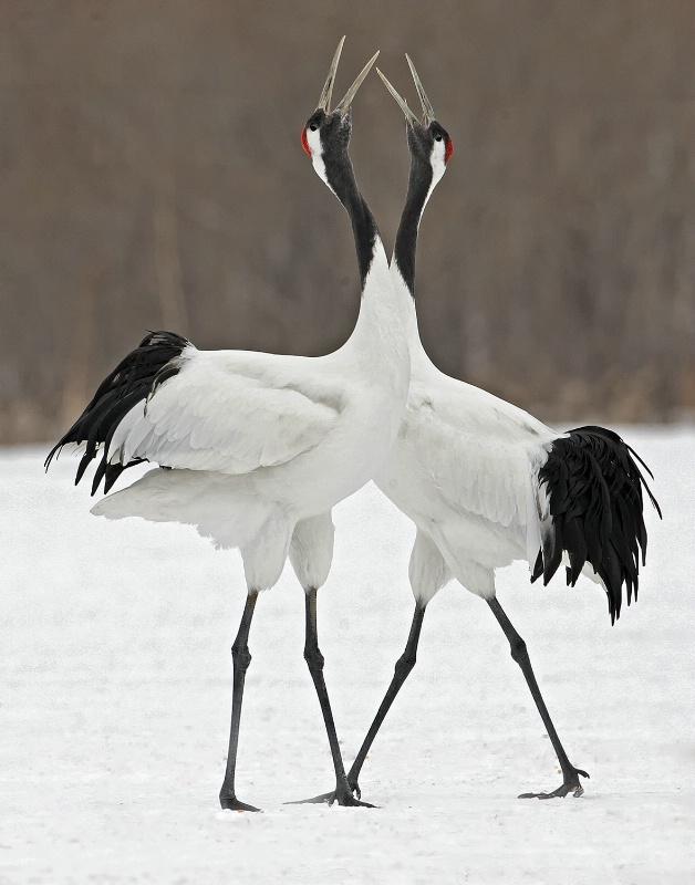 Red Crown Cranes - ID: 14383942 © Kathy Reeves