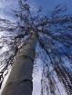 birch skyward