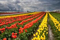 Tulip Storm