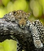Relaxing Leopard