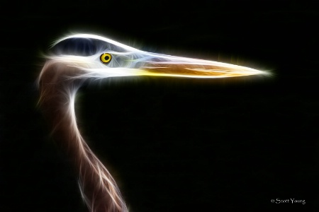 Great Blue Heron, Orlando