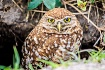 Burrowing Owl sur...