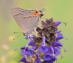 Grey hairstreak o...
