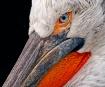 the pelican again...