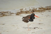 Good to Go: Orange Beaked Birds on Beach