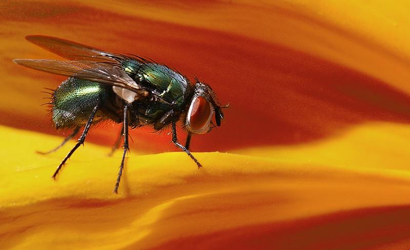 Pesky Fly