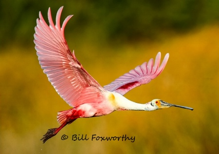 Spoonbill Flying By