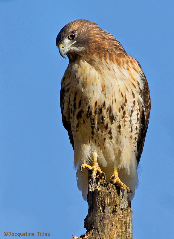 Red-tailed Hawk - ID: 14399688 © Jacqueline A. Tilles