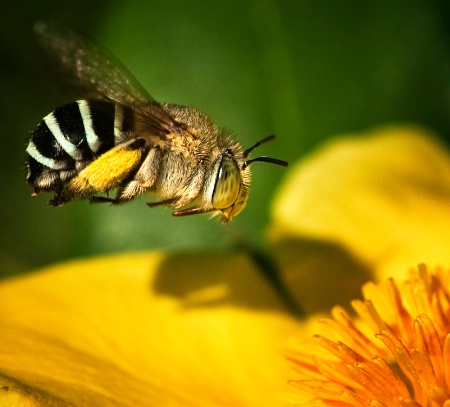 Australian Native - The Blue Banded Bee