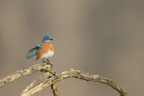 Bluebird on a Branch