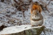 Red Squirrel in S...