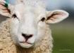 Sheep: Up Close