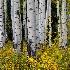 © Eric Reese PhotoID# 14411361: aspen-grove