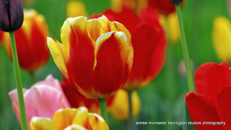 tulips of may