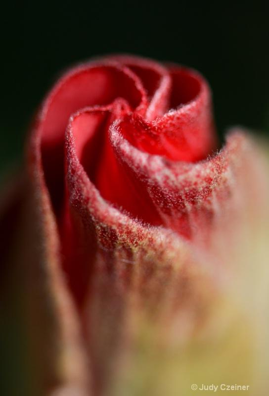 Hibiscus Unfolding