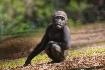 Juvenile gorilla