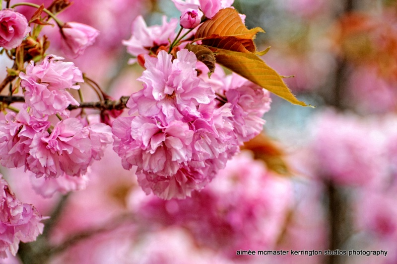 blossoms pink