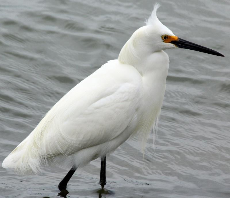 A Snowy Egret - ID: 14420044 © Pauline M. Osborn