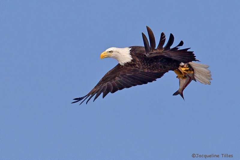 Bald Eagle with Fish - ID: 14421933 © Jacqueline A. Tilles