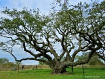 """Goose Island Oak""  The Big Tree"