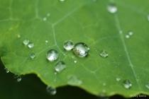 Water drops on nasturtium