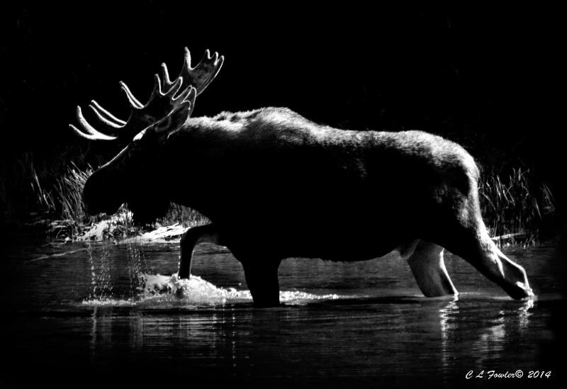 Moose Shadows