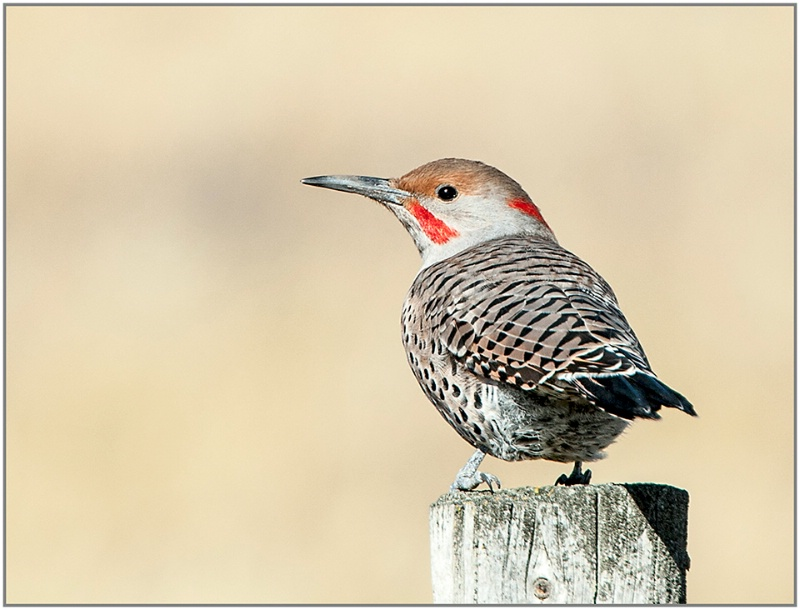 Red Shafted Flicker - ID: 14427016 © Kelly Pape