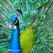 Peacock Glory