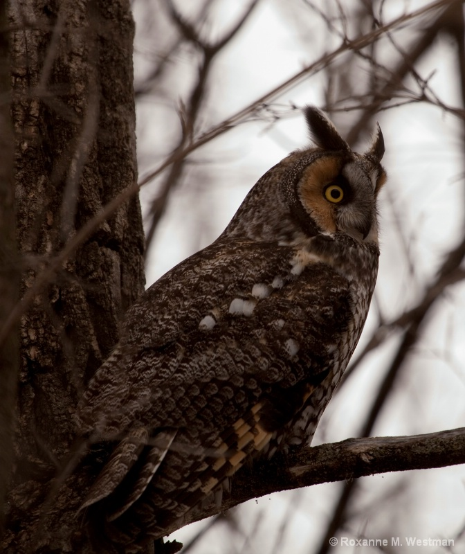 Long eared owl - ID: 14430737 © Roxanne M. Westman