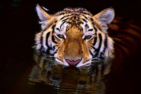 Tiger Swim