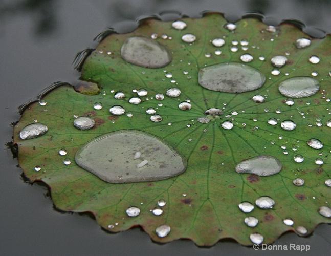 lillypad closeup - ID: 14432140 © Donna Rapp