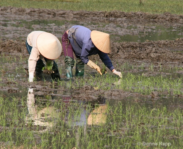 rice paddy workers-sm - ID: 14432180 © Donna Rapp