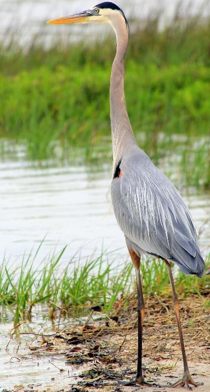 Juvenile Blue Heron - ID: 14436418 © Pauline M. Osborn