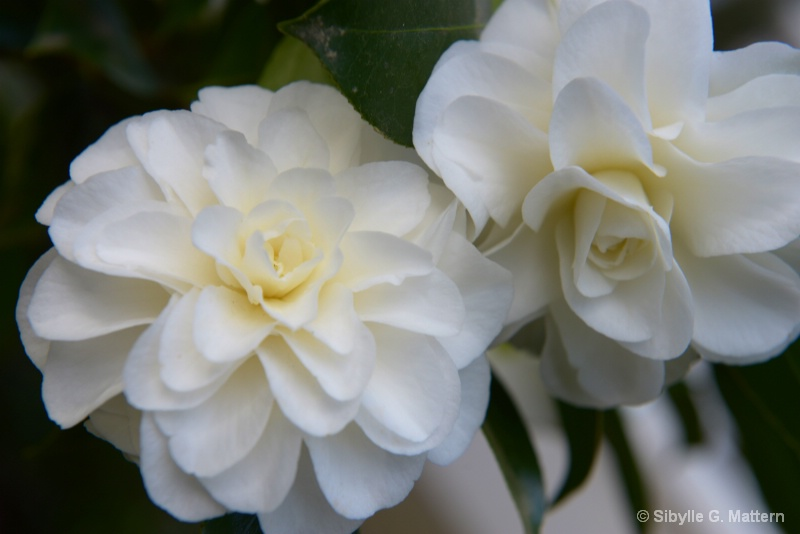 "Camellia japonica ""Shiragiku"" flower - ID: 14440069 © Sibylle G. Mattern"