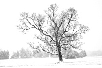 Old Tree in Snowstorm