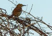 Brown Thrasher (M...
