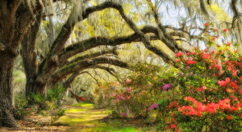 Magnolia Gardens Oak Lane - ID: 14446199 © Carol Eade