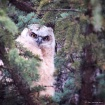 Great Horned Owle...