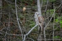 my barred owl