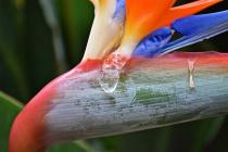 Bird of Paradise Tears